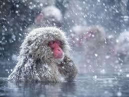 snow_monkey4.jpg